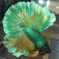 Green Yellow Half Moon Betta Fish Bred by Karen Mac Auley Pretty Fish, Beautiful Fish, Colorful Fish, Tropical Fish, Aquariums, Beautiful Creatures, Animals Beautiful, Betta Fish Types, Beta Fish