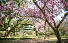 Vacation Planner - Add wandering through the Pink magnolia trees at Melrose Plantation near Nachitoches, LA to your list.  Get to Louisiana!