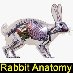 rabbit animal anatomy