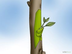 How to Graft a Tree. If you like a tree's fruit and want more of it, your best option may be grafting. This is the only way to guarantee the fruit will come out the same. There are various ways to graft, but with practice and these. Grafting Fruit Trees, Plant Science, Lawn And Garden, 5 Ways, Garden Landscaping, Gardening, Landscape, Inspired, Plants