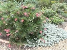 Image result for Canberra native garden Canberra native garden