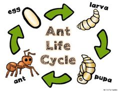 All About Ants! {Life Cycle, Ant Bodies} Kindergarten Science, Preschool Lessons, Preschool Activities, Spring Activities, Insect Activities, Ant Crafts, Life Cycle Craft, English Worksheets For Kids, Life Cycles