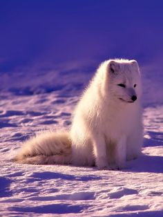 rx online Picture of a Norway white arctic fox. Picture of a Norway white arctic fox. Animals And Pets, Baby Animals, Cute Animals, Strange Animals, Wild Animals, Beautiful Creatures, Animals Beautiful, Norway Travel Guide, Fennec