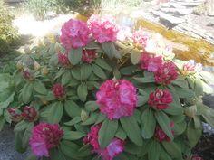 Rhododendron Hybridum Pink Garden Design Colour Of Flower