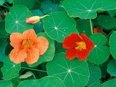 Tropaeolum Majus Nasturtiums has Edible Blooms – Nasturtium (Tropaeolum majus) is known for its fast growth and cheery flowers. This edible annual thrives in full sun and, surprisingly, flowers best in poor soil; fertile soil will produce heavy foliage with few flowers.
