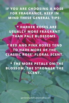 Choosing Roses for Scent