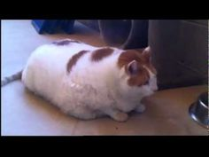 World`s fattest Cat ! Meow, the 40-POUND Moggy