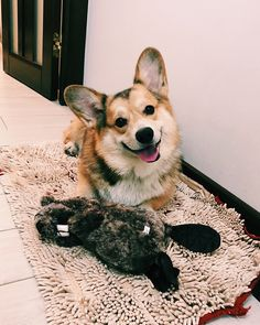 "550 Likes, 40 Comments - ROLEX (@rolex_corgi) on Instagram: ""Grandparents presented me a toy they bought it to make me happy cuz I was sad that I didn't get a…"""