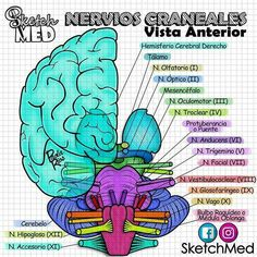 Cranial nerves or cranial nerves - All About Health Studying Medicine, Medicine Notes, Nursing School Notes, Medical Anatomy, School Study Tips, Cranial Nerves, Human Anatomy And Physiology, Body Anatomy, Med Student