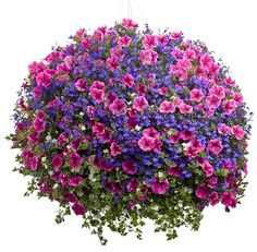 1 Supertunia Mini Strawberry Pink Veined, 1 Lobelia - Dark Blue, 1 Bacopa - Snowstorm Giant Snowflake. Plants should be bought in 4.5 inch pots or bigger. Place the 3 plants in basket in a triangle pattern evenly.