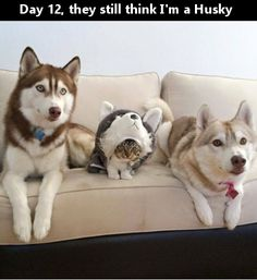 Day 12 they still think Im a Husky