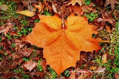 Leaf Photography,Nature Photography, Fall Photography,Autumn Photography,Plant Photography,Woodland,Forest,Sycamore leaf,Fine Art,Botanical by ScatteredBeams on Etsy https://www.etsy.com/listing/223292147/leaf-photographynature-photography-fall