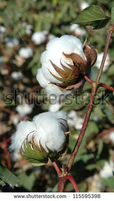 Find Cotton Bolls On Plant stock images in HD and millions of other royalty-free stock photos, illustrations and vectors in the Shutterstock collection. Thousands of new, high-quality pictures added every day. Cotton Painting, Cotton Pictures, Weathered Paint, Cotton Bowl, Cotton Plant, Cotton Fields, Chicken Art, Seed Pods, Belleza Natural