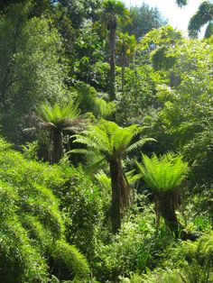 Tree ferns in the lost gardens of Heligan
