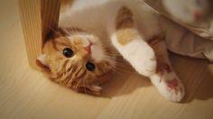 [스코티쉬폴드Scottish fold] Suri&Noel cat story EP23