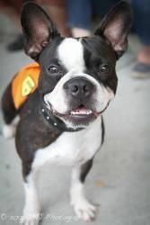 Pudge is an adoptable French Bulldog Dog in Staten Island, NY. Pudge is an adorable 1 1/2 yr old French Bulldog possibly Boston Terrier mix. He is high energy and needs to be placed in a house with ei...