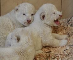 4 white lions, 3 white tigers born in zoo in Poland