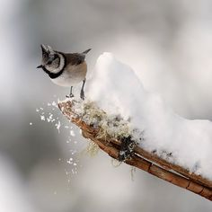 Crested Tit in Snow Taking off by Margaret J Walker
