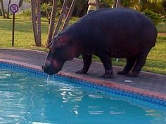 Hippo_pool_midday