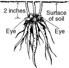 PEONIES, PEONIES, PEONIES: How to grow Peonies in your garden