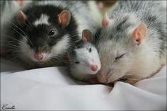 Rat Family http://ift.tt/2q9f1V7