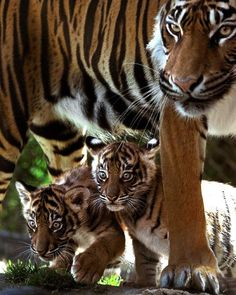 Two 8-week-old Sumatran tigers cubs hide under their mother, Jaya, during their public debut
