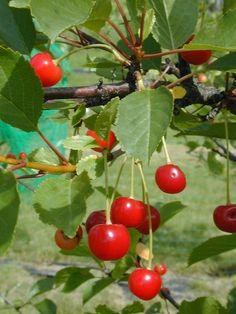 Prunus cerasus 'Huvimaja', Surkörsbär. Mörkare och tidigare än Skuggmorell. Utmärkt till konservering. Zon: II (III). Bild: MTT