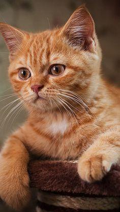 Коричневый кот ищет что-то iPhone 5 (5S) (5C) обои - 640x1136
