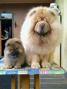 cream chow pale nose Cute Puppies, Cute Dogs, Dogs And Puppies, Doggies, Lion Dog, Dog Cat, Baby Animals, Cute Animals, Chow Chow Dogs