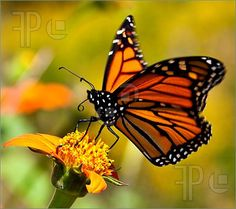Picture Of Monarch Butterfly. Image To Download at FeaturePics.