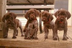 Oh goodness! I may need a whole new board just for German Shorthaired Pointers. too-cute-to-boot