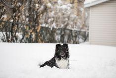Sheltie shetland sheepdog dog blog blogger ivysheltie instagram