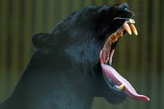 earthlynation: black jaguar source - earth