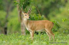Pampas deer(Ozotoceros bezoarticus)