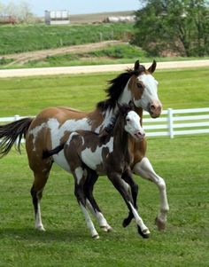 The American Paint Horse is a breed that combines both the conformational characteristics of a Western stock horse with a pinto spotting pattern of white and dark coat colors. Baby Horses, Cute Horses, Horse Love, All The Pretty Horses, Beautiful Horses, Animals Beautiful, Horse Pictures, Animal Pictures, Cheval Pie