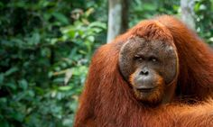 Palm Oil Workers Investigated For Killing, Eating Endangered Orangutan | The Huffington Post