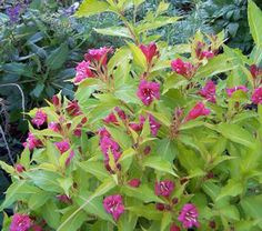 Weigela, Rubies N' Gold (Weigela florida 'Conanu') WEIGELA 'RUBIES N' GOLD™'  Weigela florida 'Conanu'   Buy Rubies N' Gold™ Weigela online. The beautiful golden-toned foliage of Rubies N' Gold make a perfect canvas for the dark red tubular flowers. New foliage emerges with a fine red margin. 3-4' x 3'