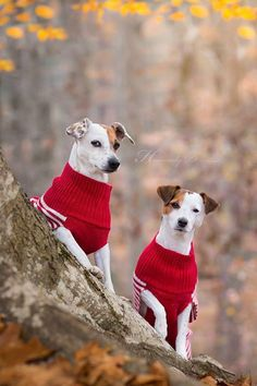 Jack Russell Terrier Sweater Weather by Heavenly Pet Photography