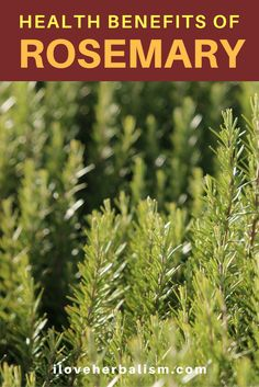 I was quite impressed by the many health benefits we could get from rosemary but we also need to make sure we get the right amount of consumption because overdosing could harm your body