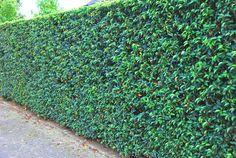 Portugese Laurier - Laurier - Wintergroene haagplanten