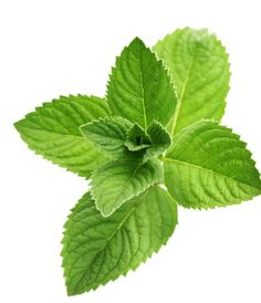 Buy Water Soluble Menthol flavor and other pure flavors from Bulk Apothecary at Wholesale prices. Our Water Soluble Menthol Flavor is great for lip balms and confectioneries. Peppermint Plants, Doterra Peppermint, Growing Mint, E Cigarette, E Liquid Flavors, Herb Recipes, Natural Cures, Kraut, Fresh Herbs