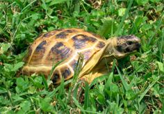 Get a few inside secrets on the real way to buy a Russian Tortoise when looking for one for sale >>