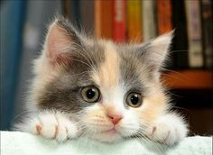 dilute calico - Google Search
