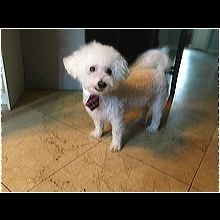 ― Bichon Frise Rescue ― ADOPTIONS Bichon Frise Rescue, Post Animal, Shelter, Adoption, Dogs, Animales, Foster Care Adoption, Pet Dogs, Doggies