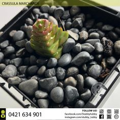 CRASSULA MARCHANDII IN STOCK $45 Succulents For Sale, Blueberry, Fruit, Natural, Food, Berry, Blueberries, Nature, Meals