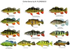 Cool Goby Blog: All the Different Cichla Species