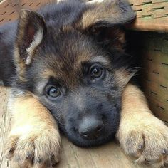 lol ok at those sweet little eyes and big paws- adorable! German Shepherd puppy