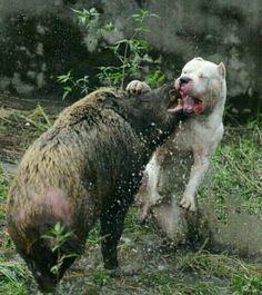 dogo argentino vs wild boar5677