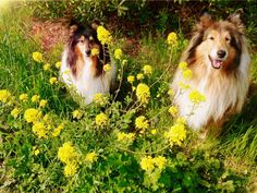 Spring Smiles by hermio.deviantart.com on @DeviantArt  #lassie #collie #candy #dogs #hermio #black
