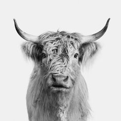Randal Ford // The Animal Portrait Collection® Highland Cow Print, Highland Cattle, Cow Names, Scottish Cow, Living Room Canvas, Randal, Pink Feathers, Cheetahs, Mans Best Friend